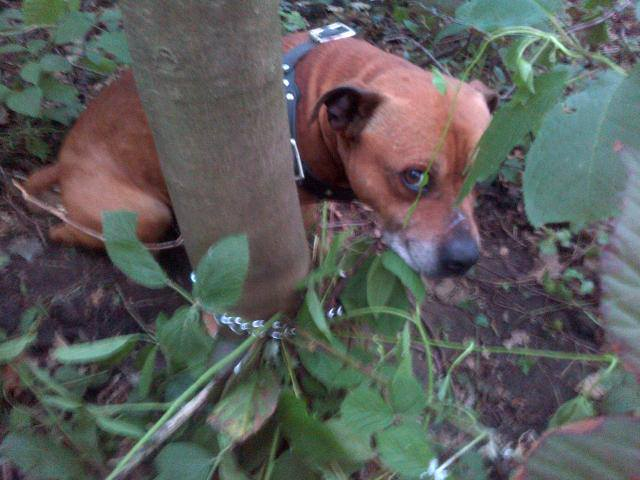 Meet Zane left tied to a  tree :( looking for rescue  SAFE Zane10