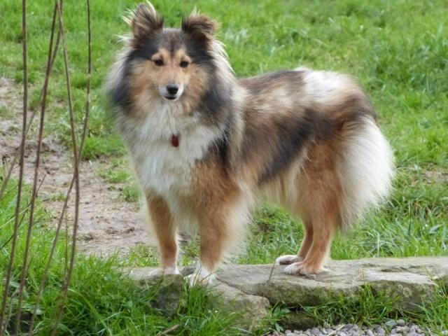 GAIA femelle berger des shetlands née le 25 04 2011 Gaia10