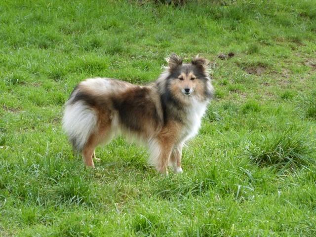 GAIA femelle berger des shetlands née le 25 04 2011 Gaia210