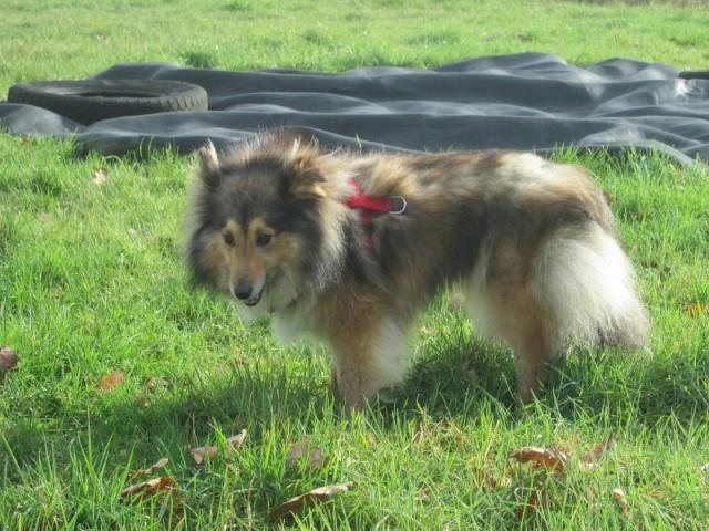 GAIA femelle berger des shetlands née le 25 04 2011 Gaia310