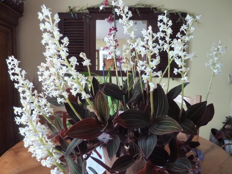 "Orchidée ""LUDISIA"" P1010410"