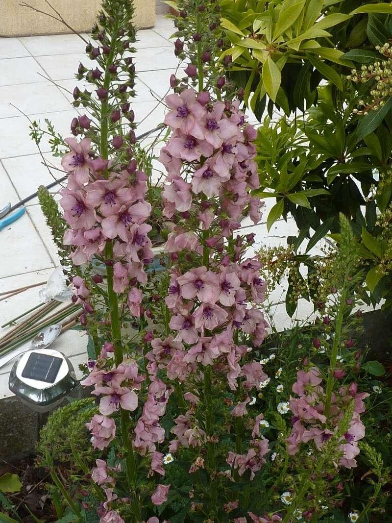 VERBASCUM (de mon jardin) P1010811