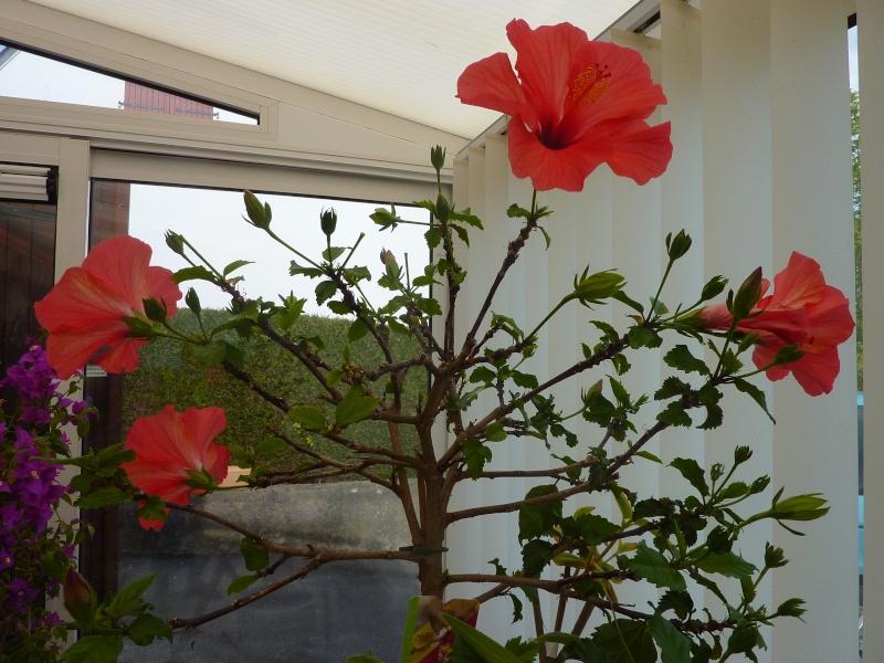 hibiscus a fleur géante:Hibiscus moscheutos cv disco - Page 2 P1010817