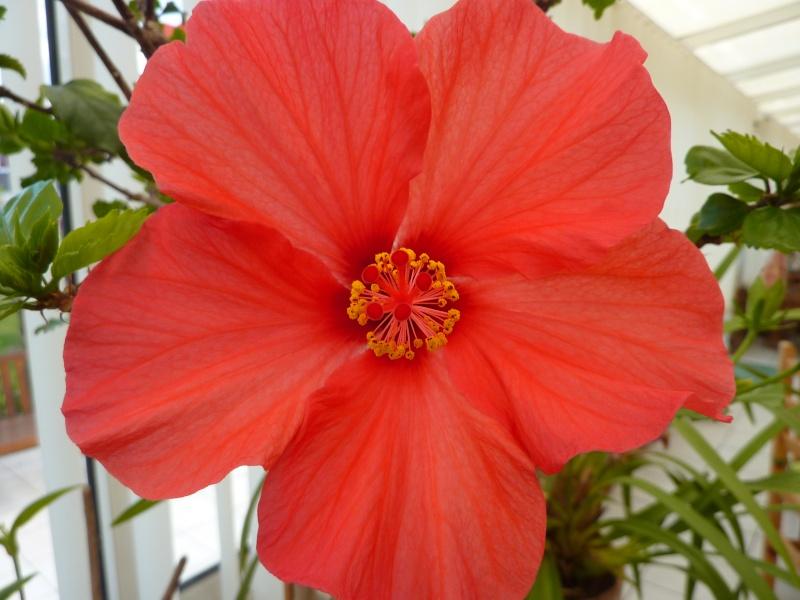 hibiscus a fleur géante:Hibiscus moscheutos cv disco - Page 2 P1010818