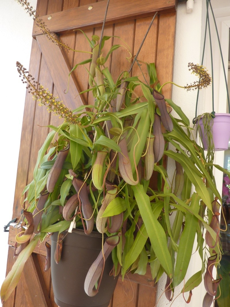 NEPENTHES (plante carnivore...) P1020513