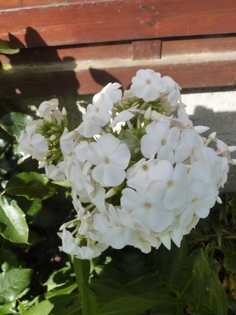 Phlox vivace, Phlox paniculata P1020525