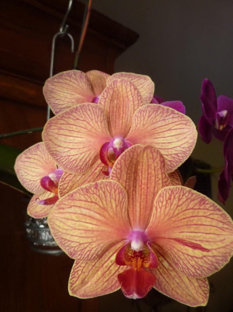 Phalaenopsis - Page 2 P1020711