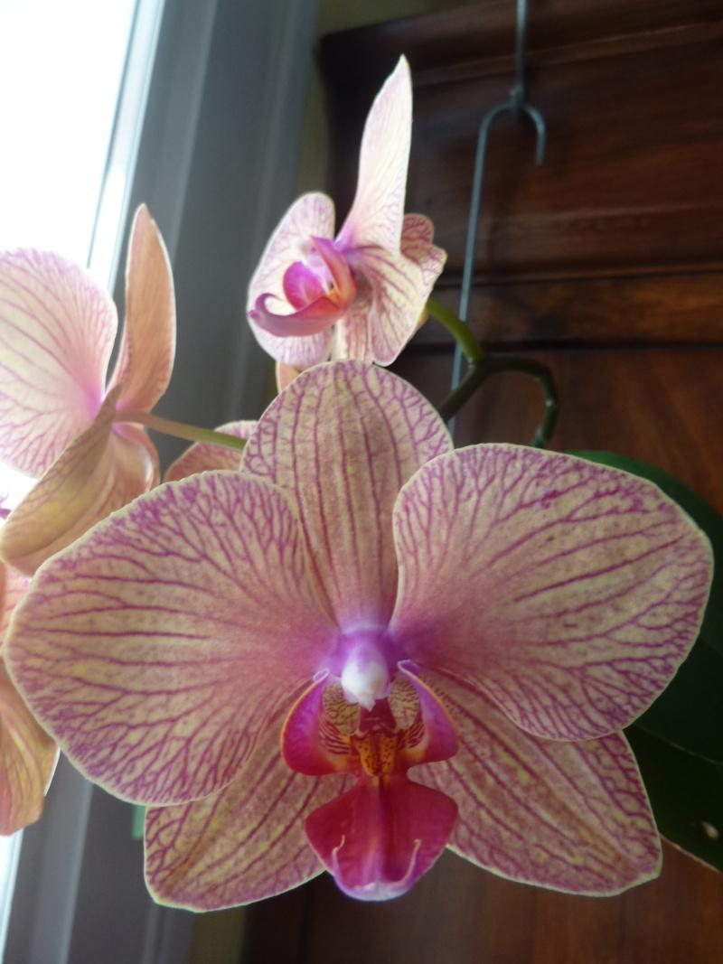 Phalaenopsis - Page 2 P1020713
