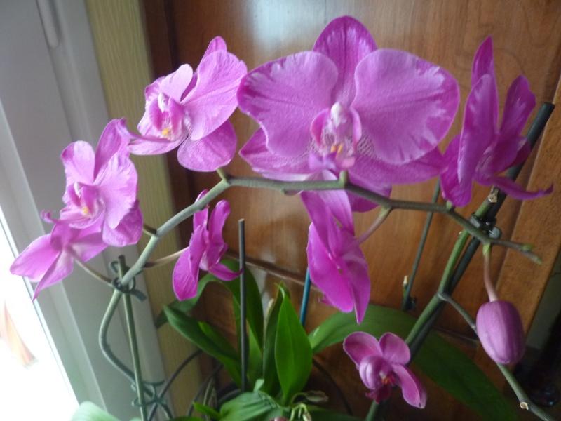 Phalaenopsis - Page 2 P1020714