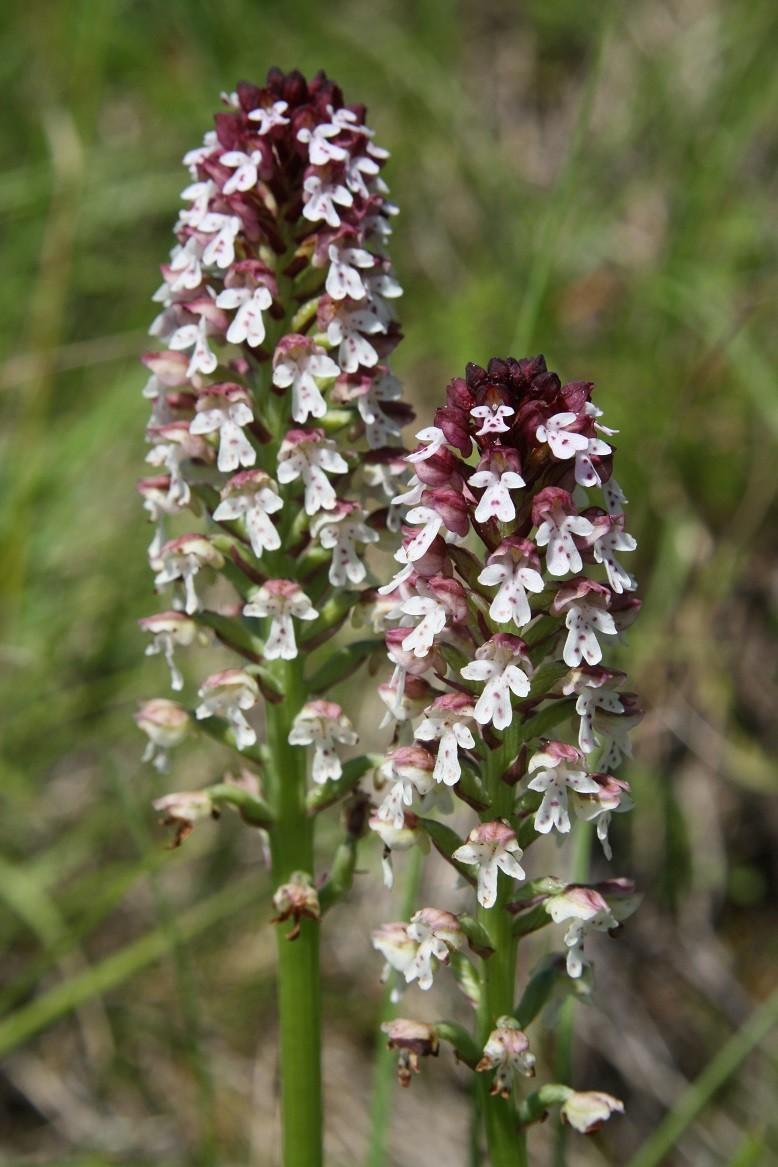 quelques orchidées Neotti10