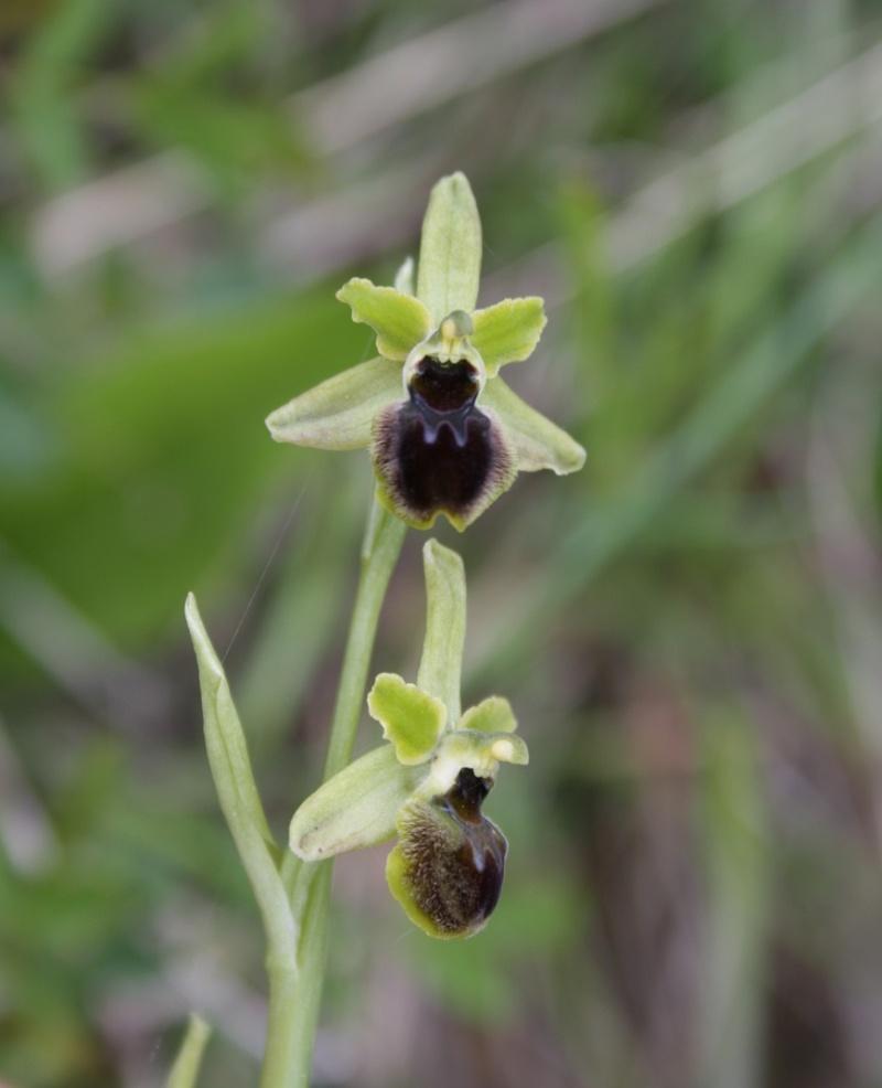 quelques orchidées Ophrys15