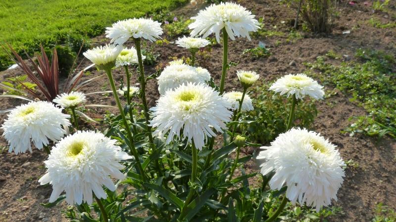 Leucanthemum Fiona Coghill P1120210