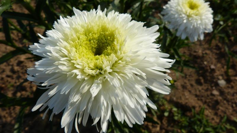 Leucanthemum Fiona Coghill P1120211