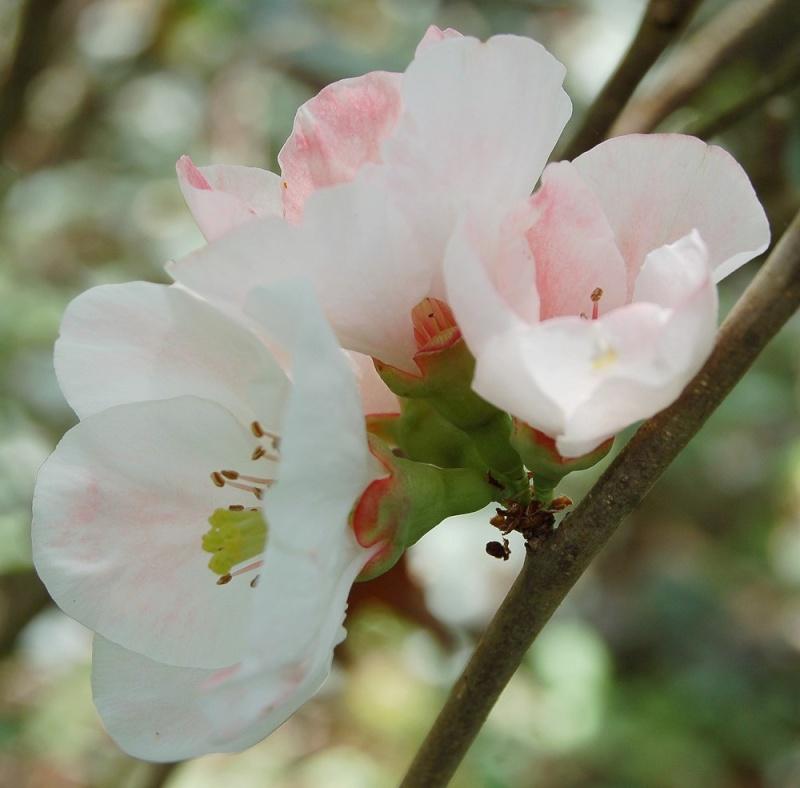 Cognassier du Japon 'Carl Ramcke'(Pommier du Japon ) Chaeno10