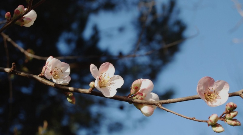 Cognassier du Japon 'Carl Ramcke'(Pommier du Japon ) Chaeno11