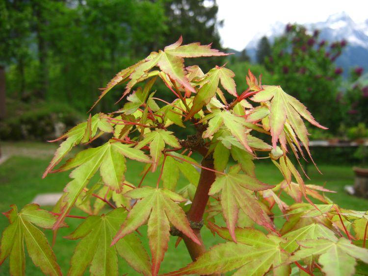 Deshojo Maple by layering Immagi13