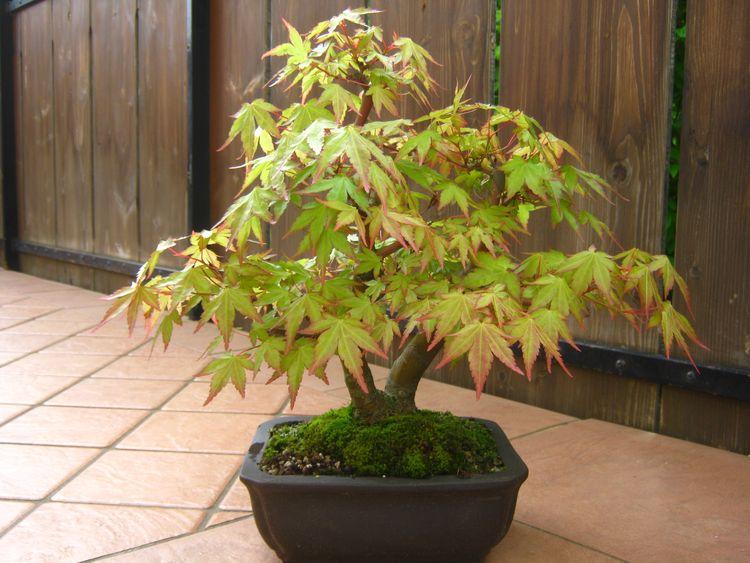 Deshojo Maple by layering Immagi16
