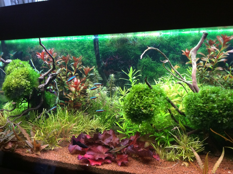 Aquarium 180L Juwel (MAJ 20 mai 2015) - Page 12 Image510