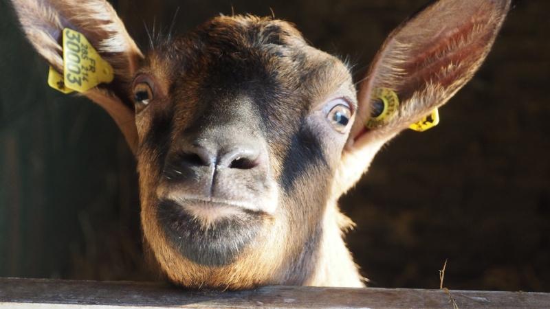 ITALIENNE chèvre alpine Italie13