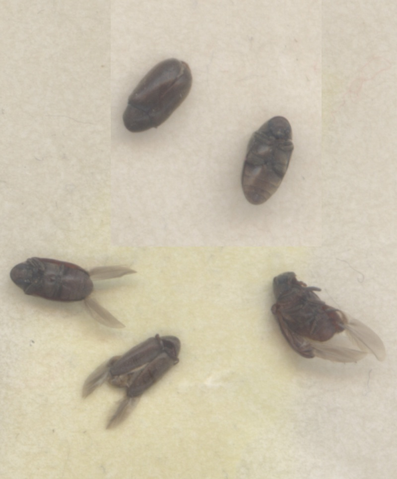 qui est ce petit insecte noir? Insect11