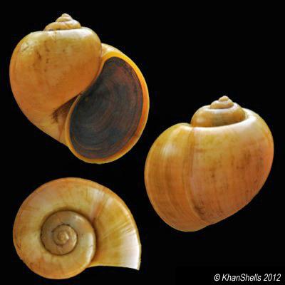 Pomacea canaliculata - (Lamarck, 1822) Pila_g10