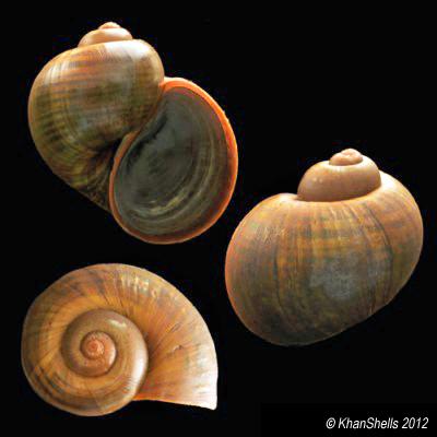 Pomacea canaliculata - (Lamarck, 1822) Pomace10
