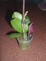 Orchidée Calimero et phalaenopsis Dsci0114
