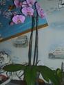 Orchidée Calimero et phalaenopsis Dsci0115
