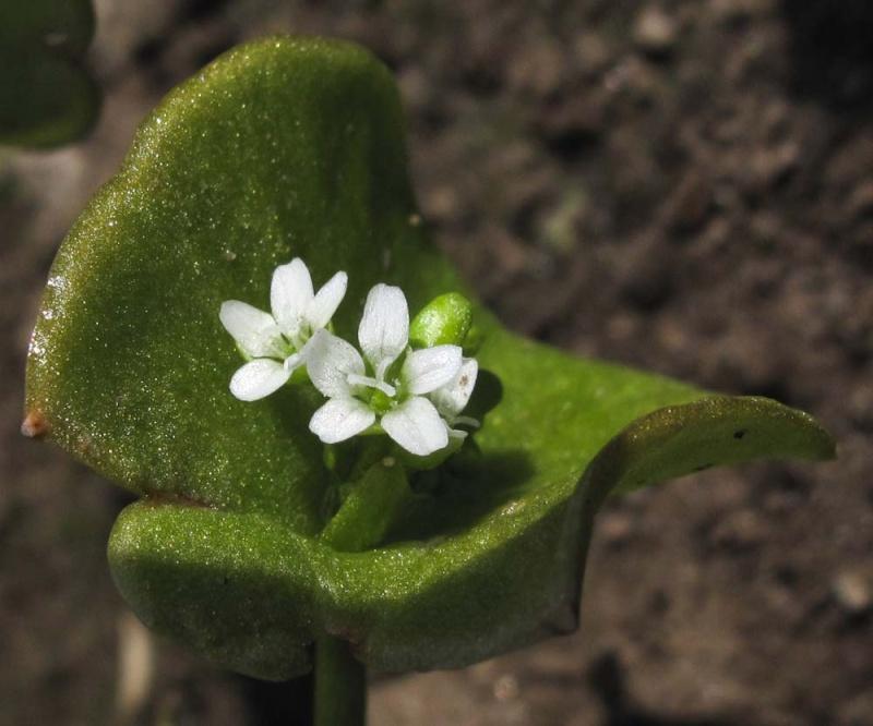 Une fleur à déterminer...[résolu : Claytonia perfoliata] Bretag11