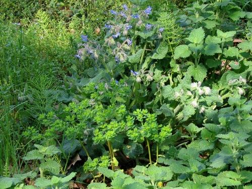 rudérales - plantes des décombres et friches enrichies en nitrate 15avri10