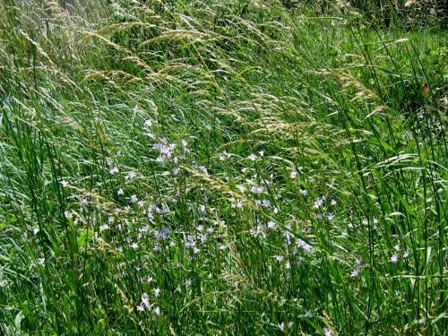 rudérales - plantes des décombres et friches enrichies en nitrate 3_juin10