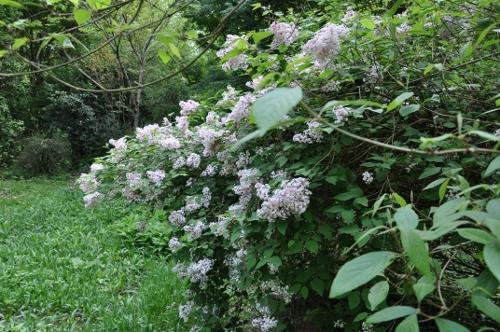 Syringa microphylla - lilas de Chine Arbore10