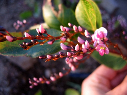 Hardenbergia violacea Bormes10