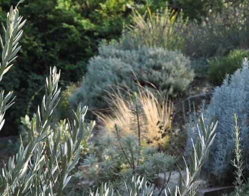 Stipa tenuifolia et Nacella (= Stipa) tenuissima - cheveux d'ange Copy_o14