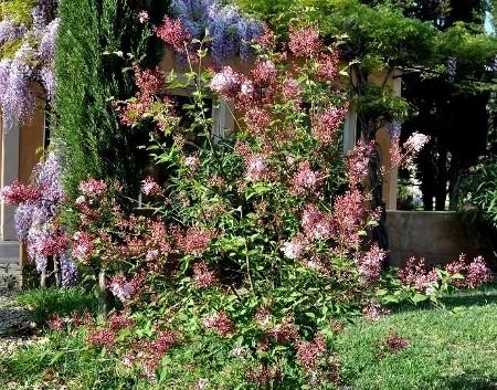 Syringa microphylla - lilas de Chine Dybut_13