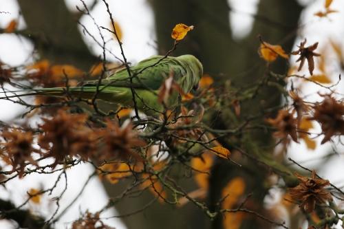 Perruche à collier - Psittacula krameri Img_0810