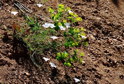 Linum tenuifolium - lin à feuilles étroites  Juin_222
