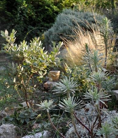 Stipa tenuifolia et Nacella (= Stipa) tenuissima - cheveux d'ange Octobr11