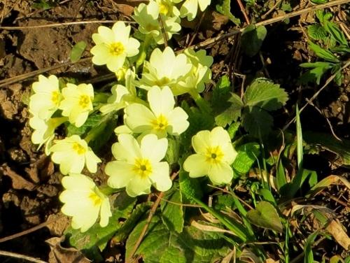 Primula vulgaris - primevère commune, primevère acaule Primev10