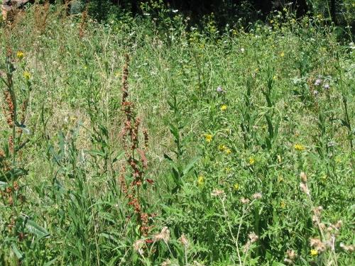 rudérales - plantes des décombres et friches enrichies en nitrate Pry_de10