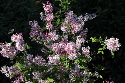 Syringa microphylla - lilas de Chine Syring10