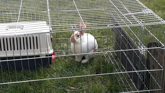Lapins à l'adoption (Association Le Lapin Blanc) 20150310