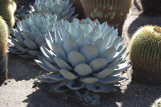 Agave parryi Agave_11