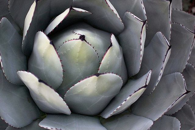 Agave parryi Agave_12