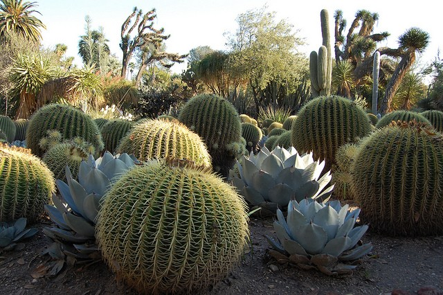 Agave parryi Agave_13