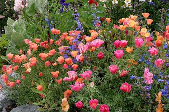 Eschscholzia californica - pavot de Californie Eschsc11