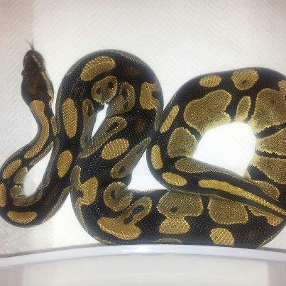 Python Regius het albinos male Mr_het14