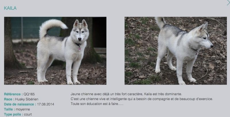 KAILA, Husky sibérien, jeune chienne Huskie née le 17.08.2014 REFU Suisse  ADOPTEE Kaila_10