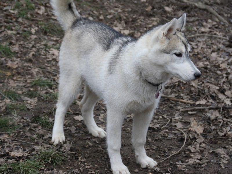 KAILA, Husky sibérien, jeune chienne Huskie née le 17.08.2014 REFU Suisse  ADOPTEE Kaila_11