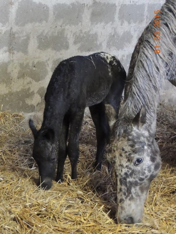 Les poulains né à l'Appaloosa IJ Farm - Page 6 00712